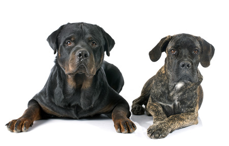 cane corso: puppy cane corso and rottweiler in front of white background