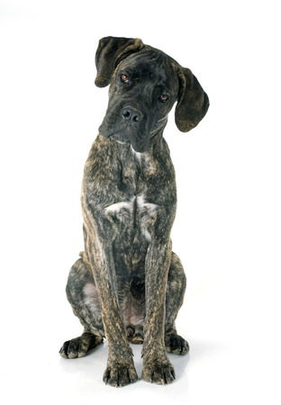 puppy cane corso in front of white background photo