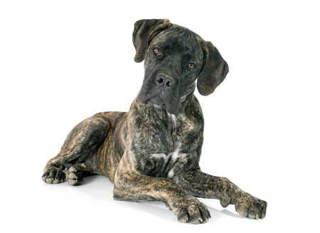 cane corso: puppy cane corso in front of white background Stock Photo