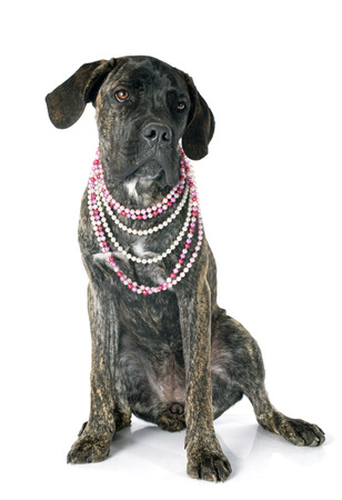 cane collar: puppy cane corso in front of white background Stock Photo