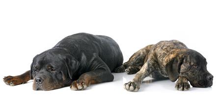 cane corso: canna cucciolo corso e rottweiler di fronte a sfondo bianco Archivio Fotografico