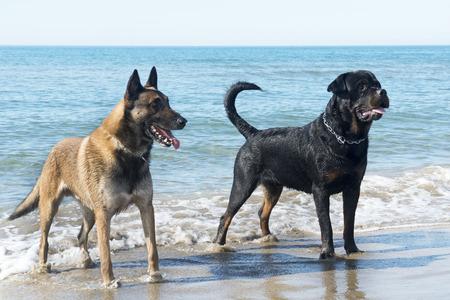 guar: belgian shepherd and rottweiler on the beach