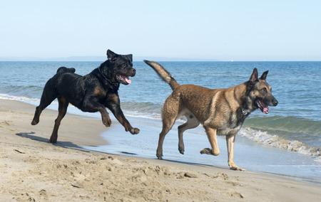 belgian shepherd and rottweiler on the beach photo