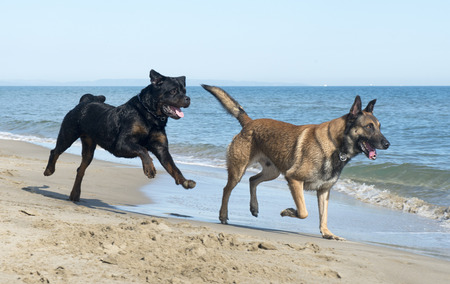 guar: belgian shepherd and rottweiler on the beach