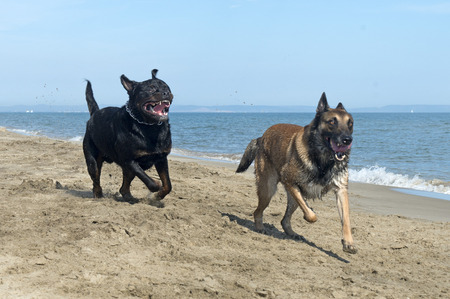 playing rottweiler and belgian shepherd on the beach Stock Photo