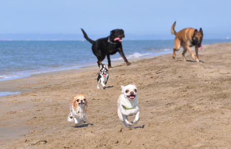 running chihuahua, rottweiler and malinois on the beach photo