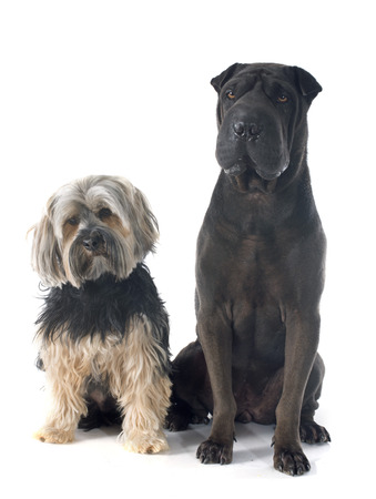 female shar pei and yorkshire terrier in front of white background photo
