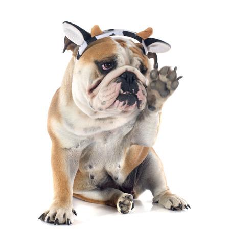 big dog: english bulldog in front of white background Stock Photo