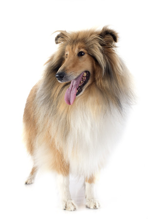 rough collie in front of white background photo