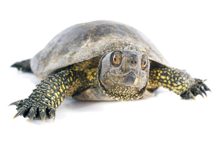freshwater turtle: European pond turtle in front of white background Stock Photo