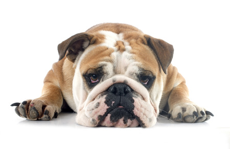 english bulldog in front of white background 写真素材