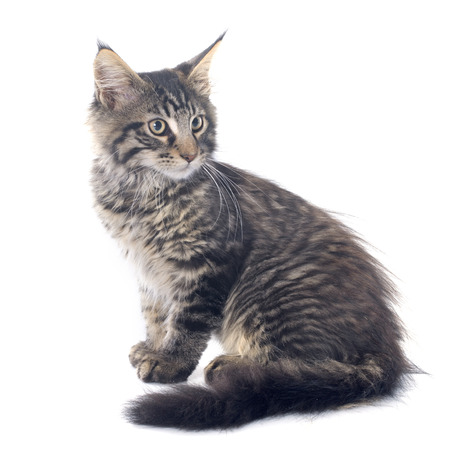 grey tabby: maine coon kitten in front of white background