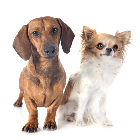 chihuahua: dachshund dog  and chihuahua in front of white background