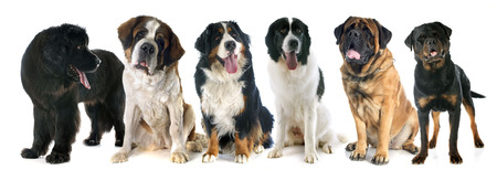 black and white newfoundland dog: giant dogs in front of white background