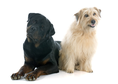 pyrenean: rottweiler and pyrenean shepherd in front of white background