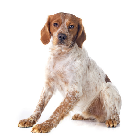 portrait of a brittany spaniel in front of white background Stockfoto