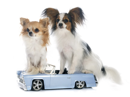 young papillon and chihuahua in front of white background photo