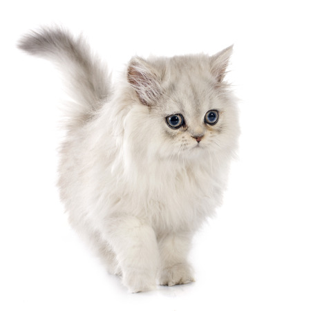 persian kitten in front of white background