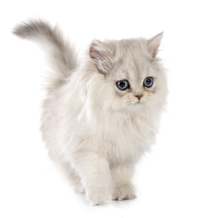 Perzisch katje voor witte achtergrond