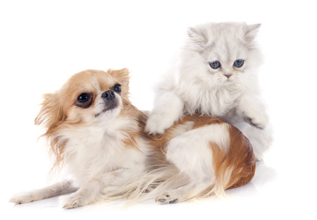 persian kitten and chihuahua in front of white background photo