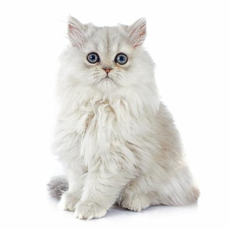 Perzisch kitten voor witte achtergrond Stockfoto