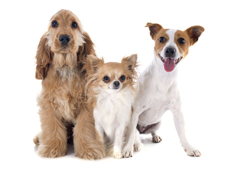 group of animals: puppy english cocker, jack russel and chihuahua in a studio