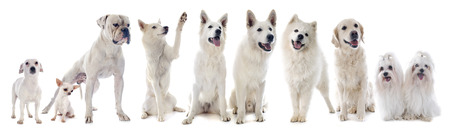 siberian samoyed: white dogs in front of white background