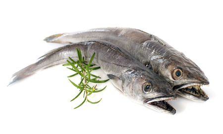 hake: European hake in front of white background