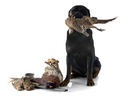chihuahua: hunting dogs in front of white background