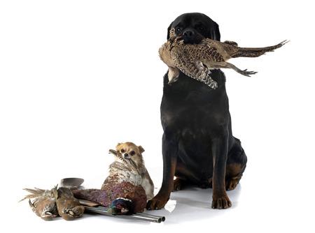 jachthonden in de voorkant van de witte achtergrond