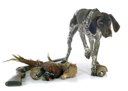 kuropatwa: polowanie gry i psa przed białym tle Zdjęcie Seryjne