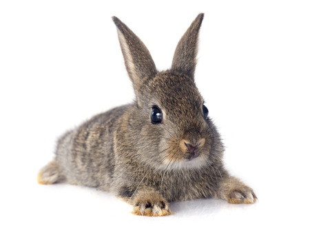 European rabbit in front of white background