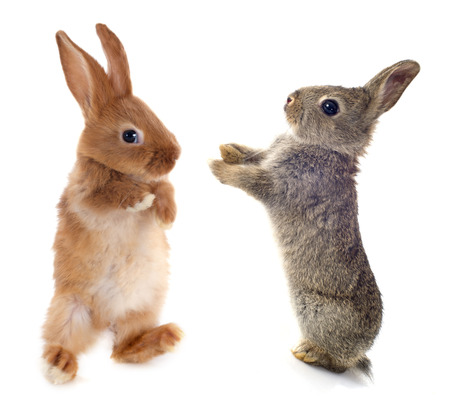 european rabbit: European rabbit in front of white background