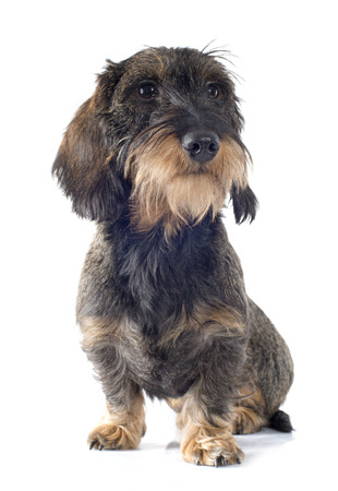wirehaired: Wire-haired dachshund in front of white background