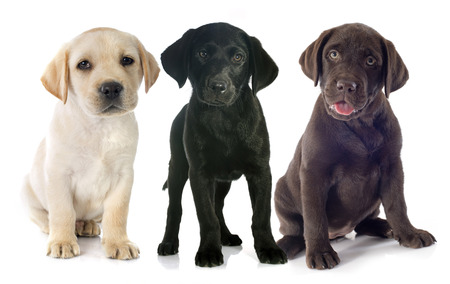 brown labrador: puppies purebred  labrador retriever in front of white background
