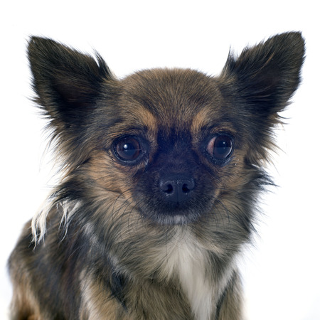 purebred: purebred chihuahua in front of white background Stock Photo