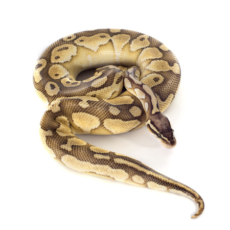 ball python: yellow Python regius in front of white background