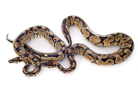 ball python: Python regius in front of white background Stock Photo