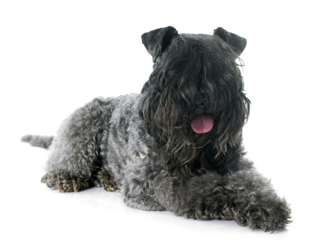 kerry: kerry blue terrier in front of white background