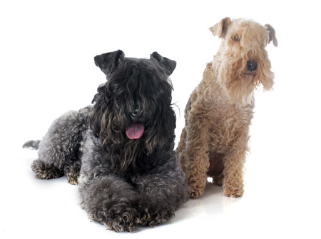 lakeland: kerry blue terrier and lakeland terrier in front of white background