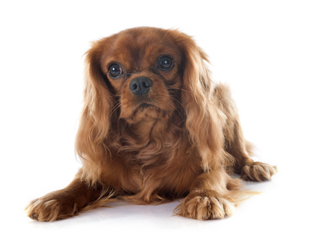 cavalier king charles spaniel: young cavalier king charles in front of white background