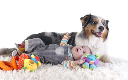 big dog: three months baby and australian shepherd in front of white background Stock Photo