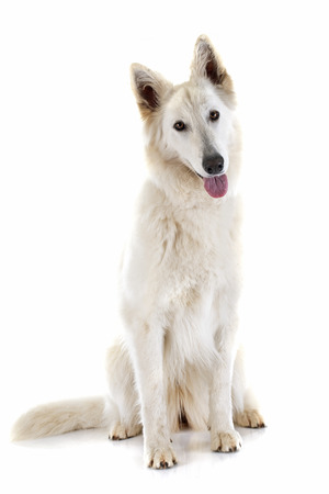sheepdogs: Purebred White Swiss Shepherd in front of white background Stock Photo
