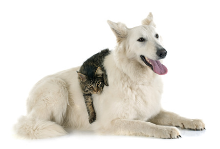 cat playing: Purebred White Swiss Shepherd and maine coon cat in front of white background