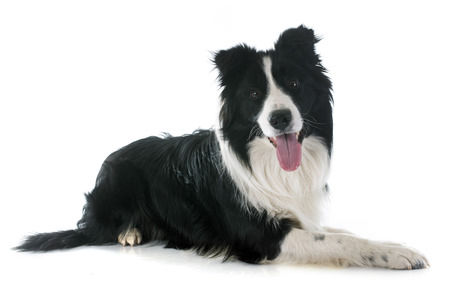 sheepdogs: portrait of purebred border collie in front of white background