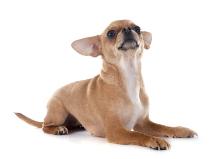 short hair dog: purebred chihuahua in front of white background Stock Photo