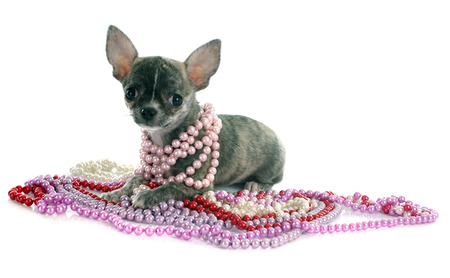 brindle: puppy chihuahua in front of white background
