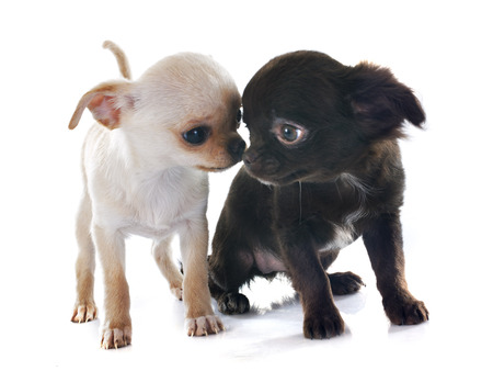 long hair chihuahua: puppies chihuahua in front of white background Stock Photo