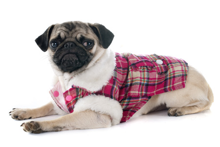 carlin: dressed puppy pug in front of white background