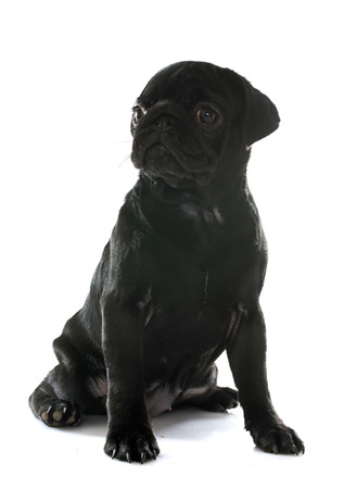 carlin: puppy pug in front of white background